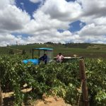 Simonsig Harvest Commences with a Perfect Swing photo