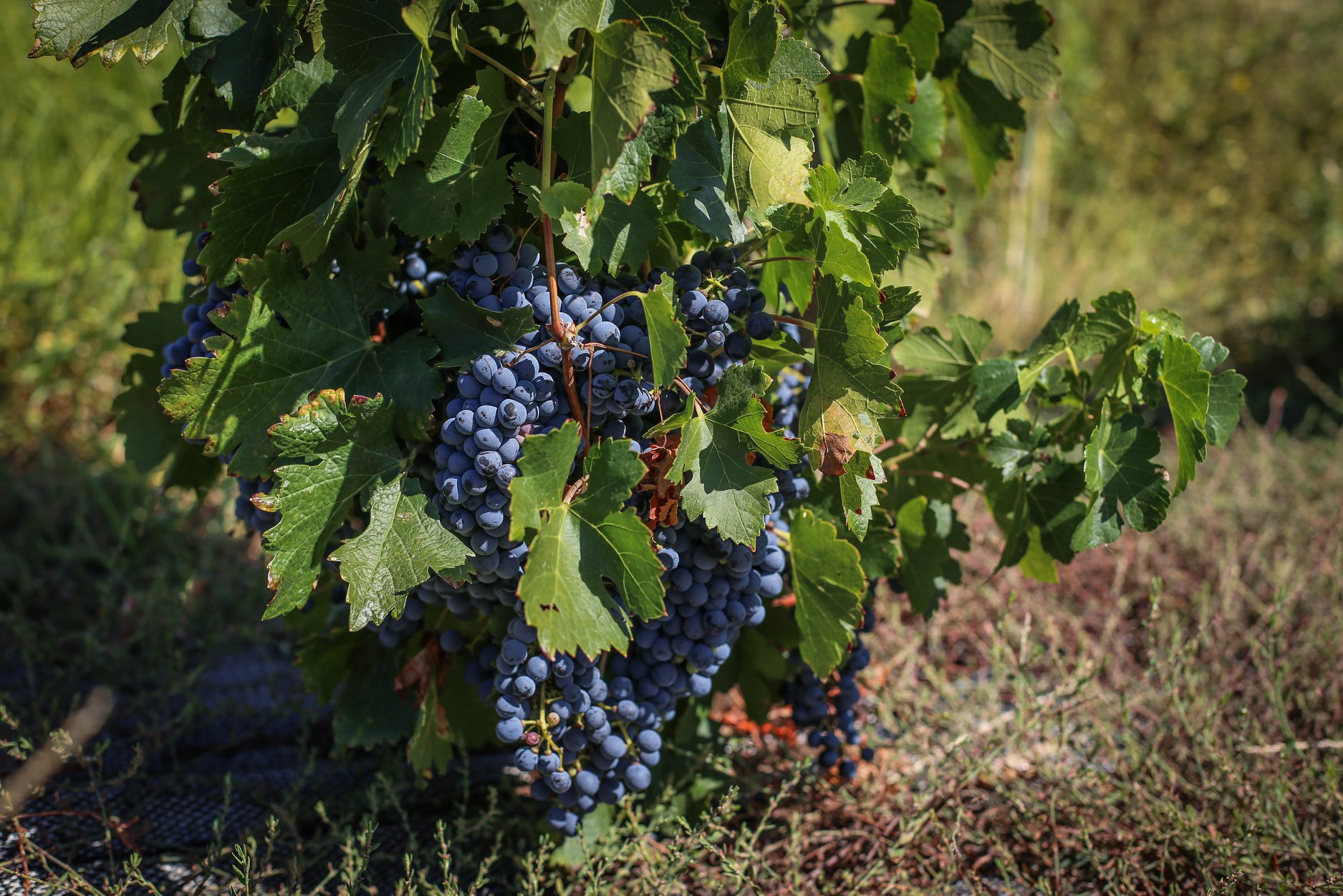 Waverley Hills Makes Wine History By Planting and Harvesting South Africa's First Marselan Grape Crop photo