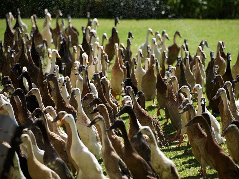 An Army Of Hungry Ducks Keeps This Historic South African Vineyard Pest-free photo