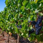 February 2020 Harvest Update From The Assistant Red Winemaker at Nederburg photo