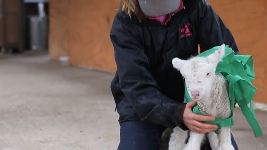 Meet Fanta, A Lamb Who Recovered With Help From Edgar's Mission photo
