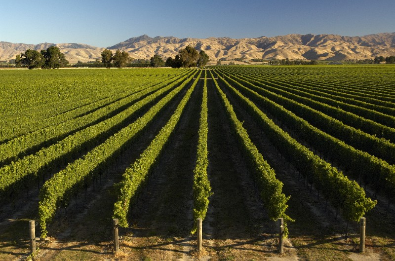 Quality Sauvignon Blanc Harvest in New Zealand Bodes well for Diemersdal Marlborough Project photo