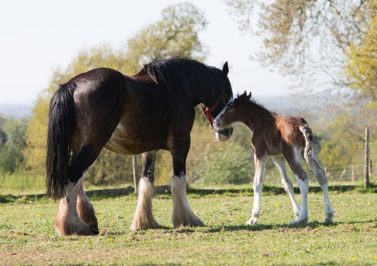 Robinsons Welcome Second Foal From Shire Breeding Programme photo