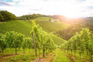 Lock, Stock And Wine Barrel: 2020 Wine Harvest photo