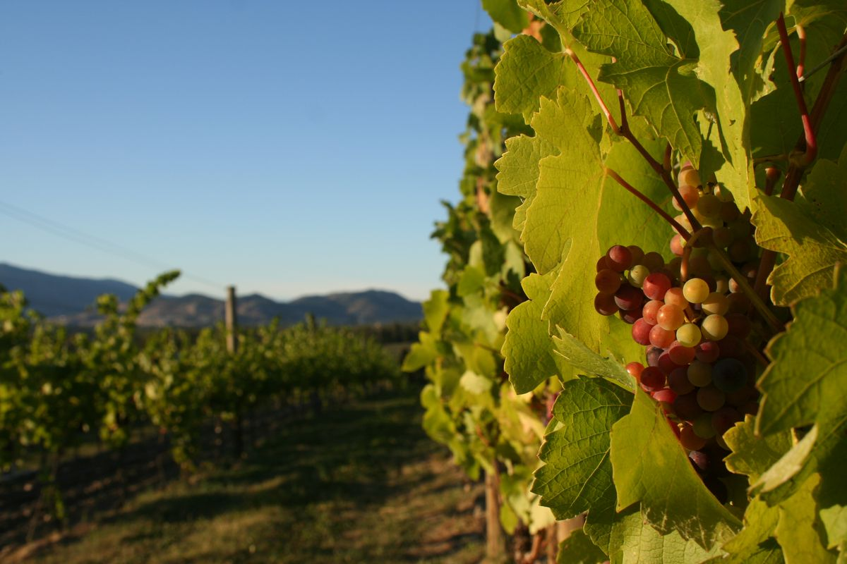 British Columbia Is Auditioning Pinot Noir As Its Signature Grape photo