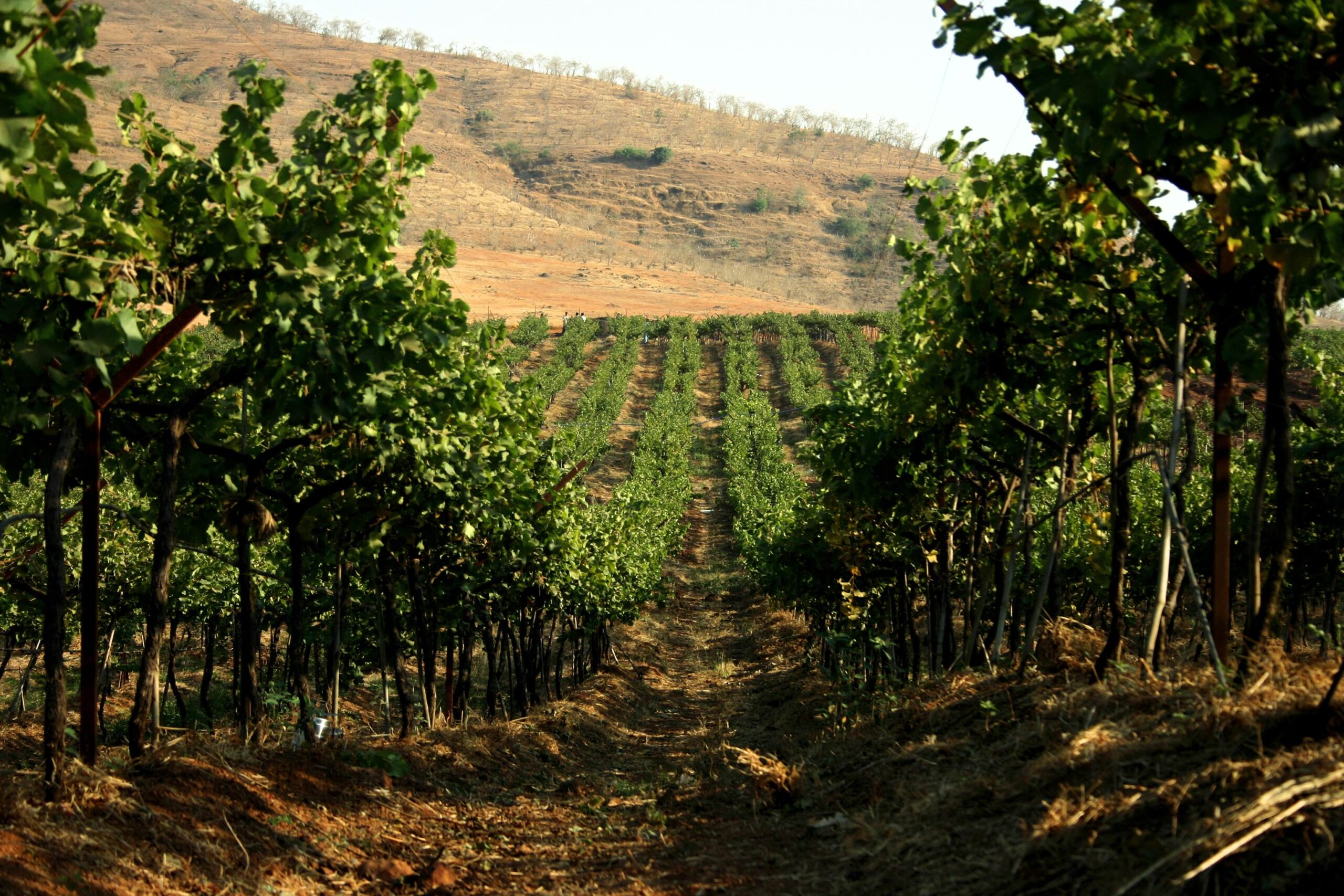 How Indian Wineries Are Coping With The Covid-19 Fallout photo