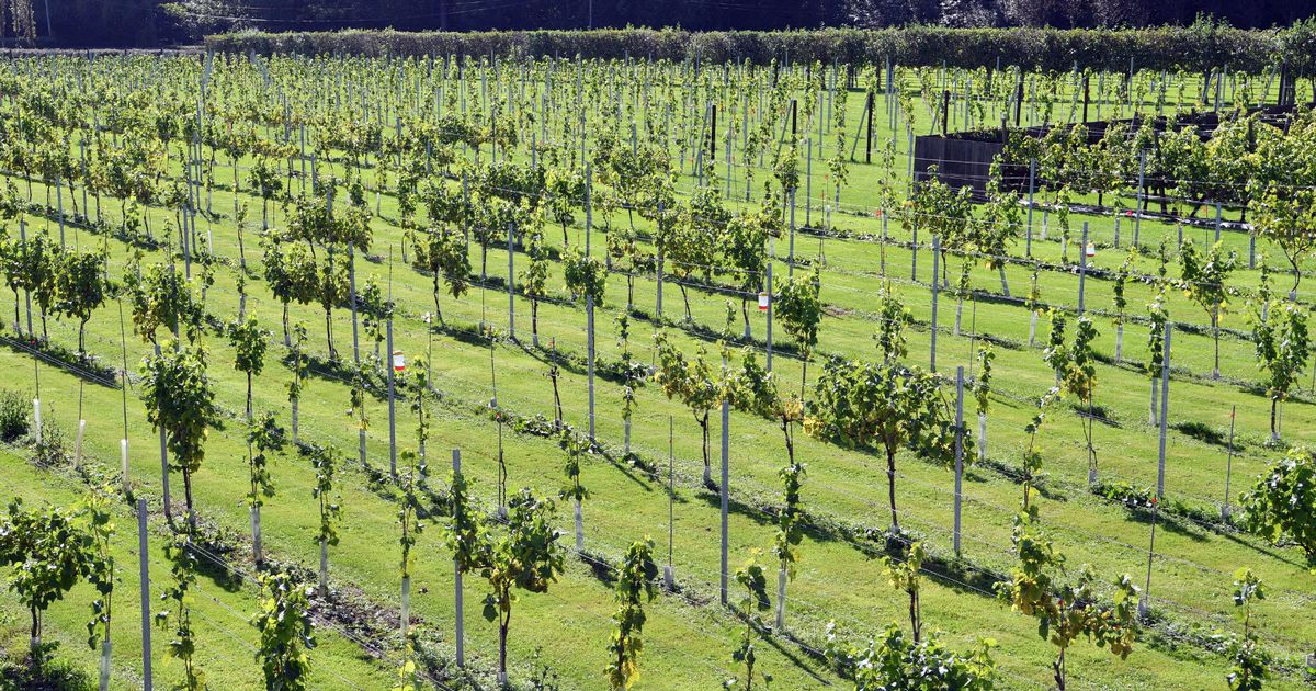 Wales' Winemaking Industry 'is Undeterred By Adversity' photo