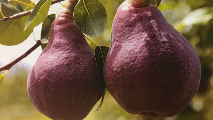 'it's Got To Stand Out, Dad': Unique New Red Pear Pioneered By Young Farmer In His Final Days photo