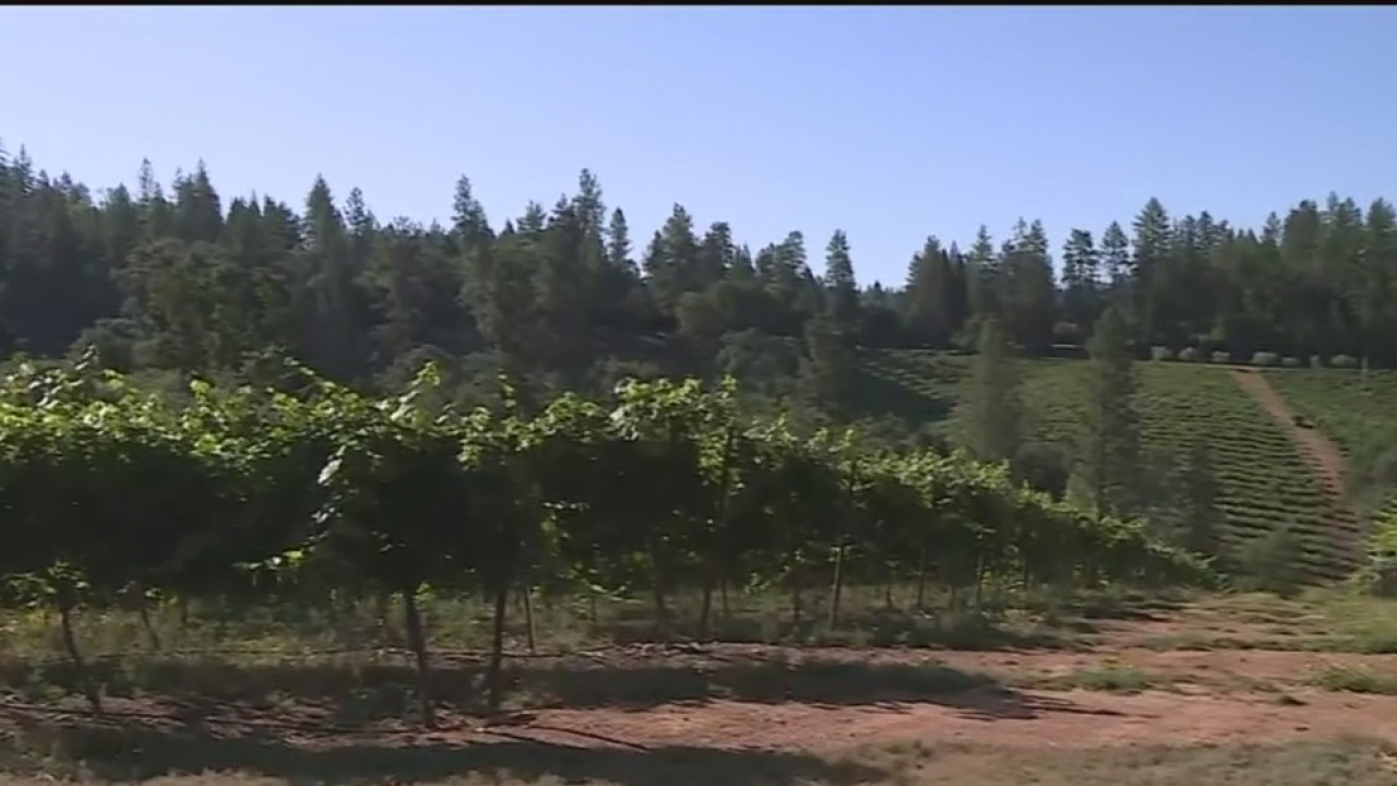 Same Vines, Different Grapes: Boeger Winery Growing New Varietal From The Vine Up photo