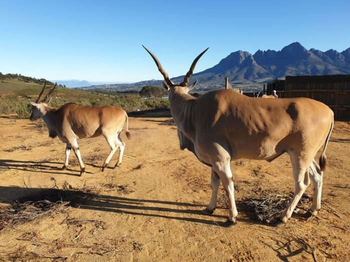 Vergelegen Welcomes Elands To Estate To Boost Biodiversity photo