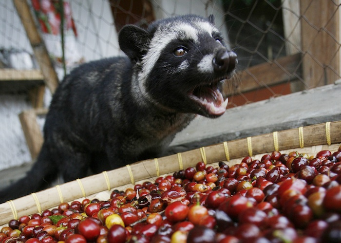 Kopi Luwak Kopi Luwak: All You Want to Know About the Worlds Most Luxurious Coffee