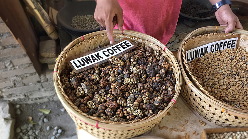 Luwak coffee beans Intrepid Travel Kopi Luwak: All You Want to Know About the Worlds Most Luxurious Coffee