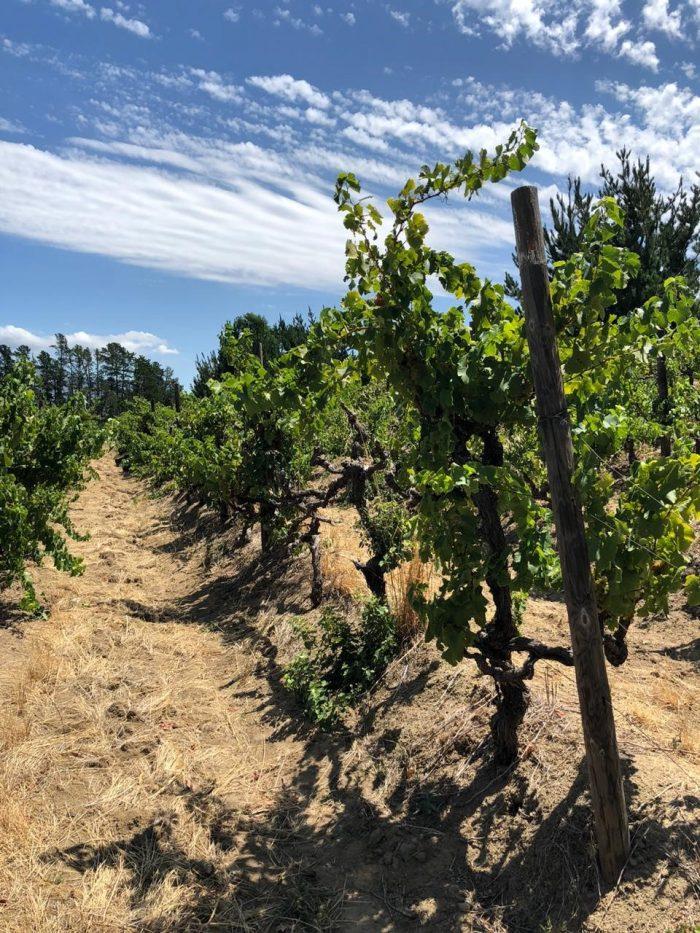 Old Chenin Blanc vines on Chamonix. 700x933 Chamonix Estate Joins Old Vines Project with 55 year old Chenin Blanc