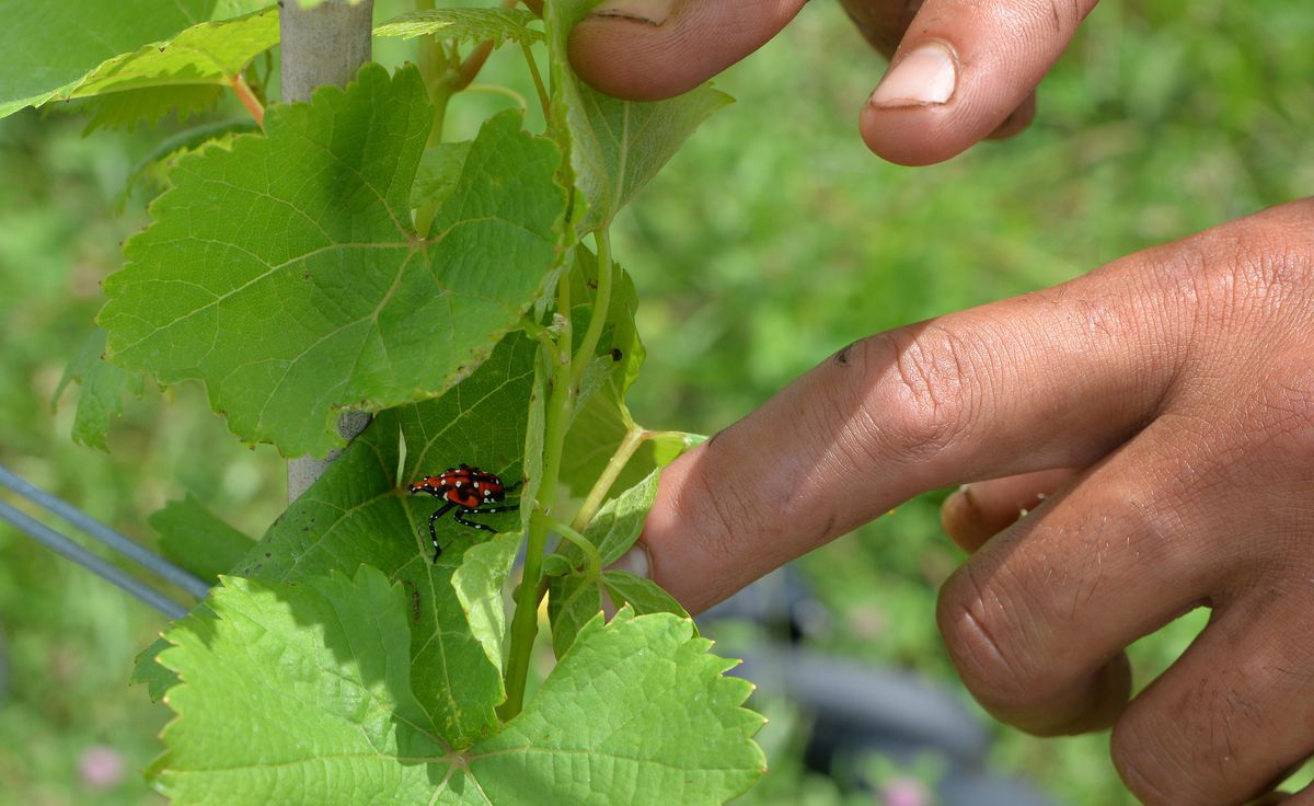 Pa., N.j. Vineyards Brace For Invasion Of The Spotted Lanternflies photo