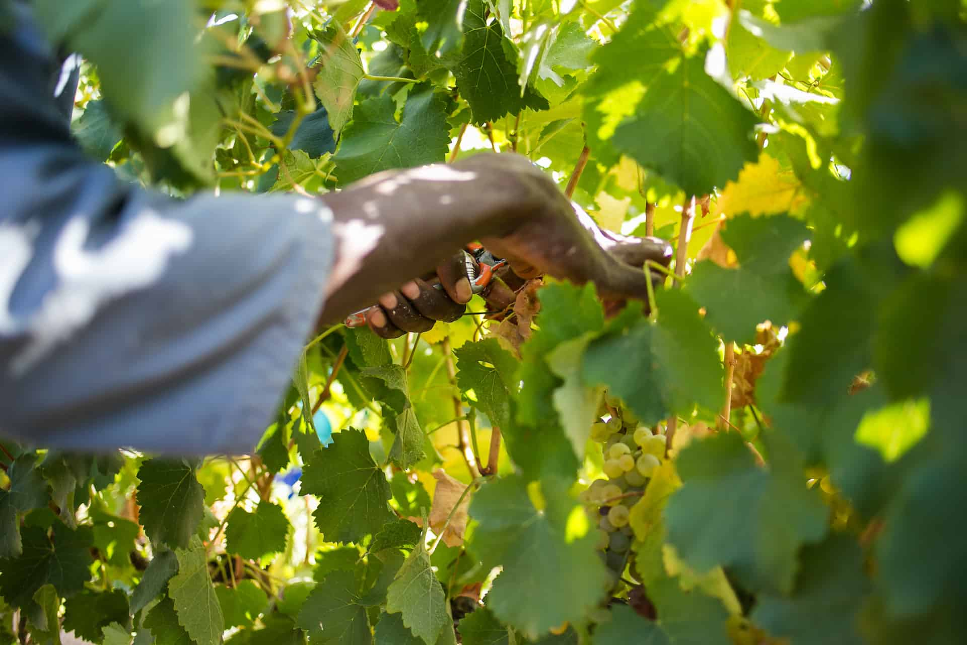 Running Dry: Will Covid-19 Kill South Africa's Wine Industry? photo