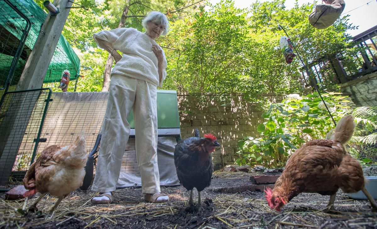 What Happens To The Backyard Hens After Toronto's Pilot Program Ends? photo