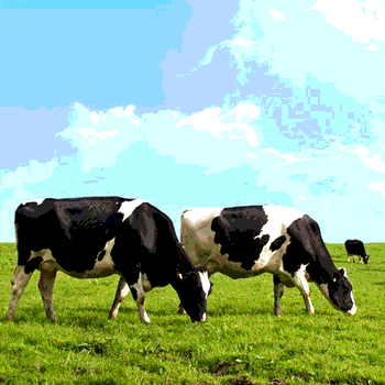 Clover Sonoma: Doing Dairy Right photo