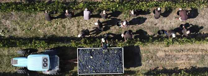 Italian Wine Harvest Redeems A Dark Year photo