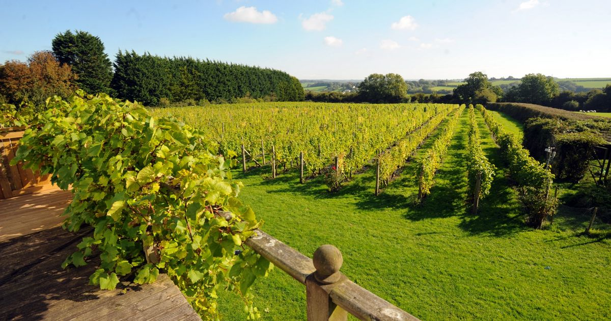 A Vineyard Is Looking For Volunteer Pickers And They Pay With Wine photo