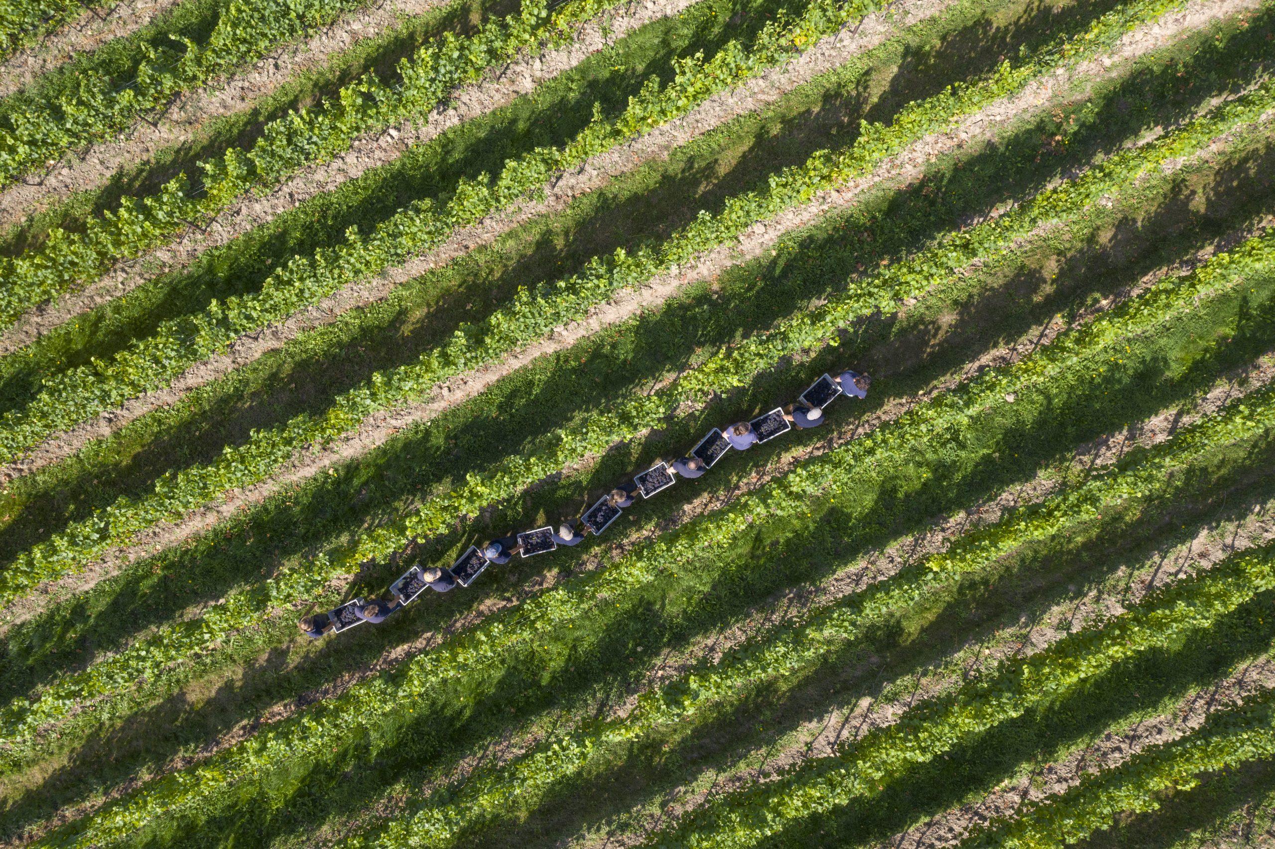 English Vineyard Nyetimber Prepares For Socially Distant Harvest photo