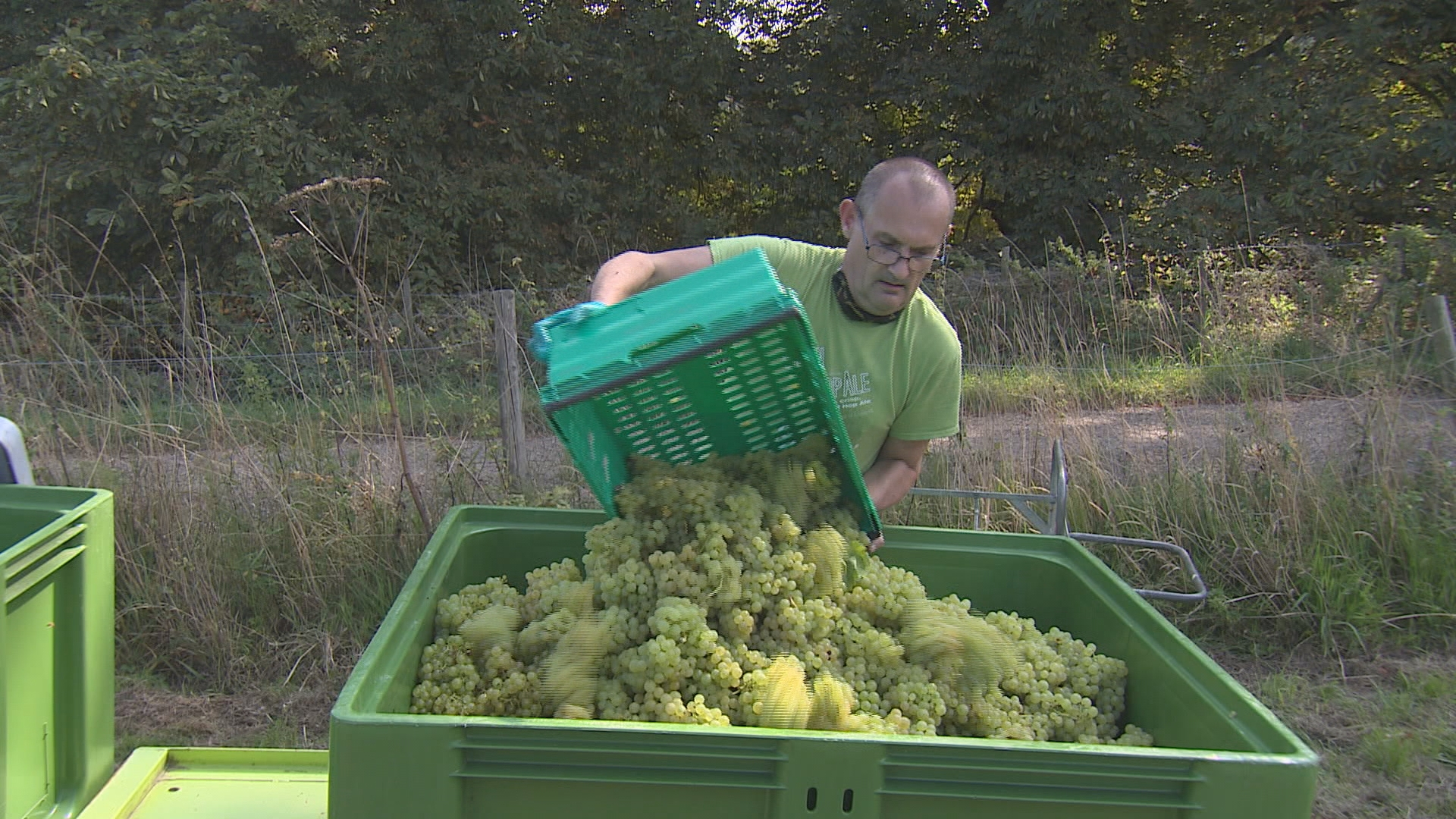 Kent Vineyard Invites Volunteers To Harvest Their Grapes For Free photo