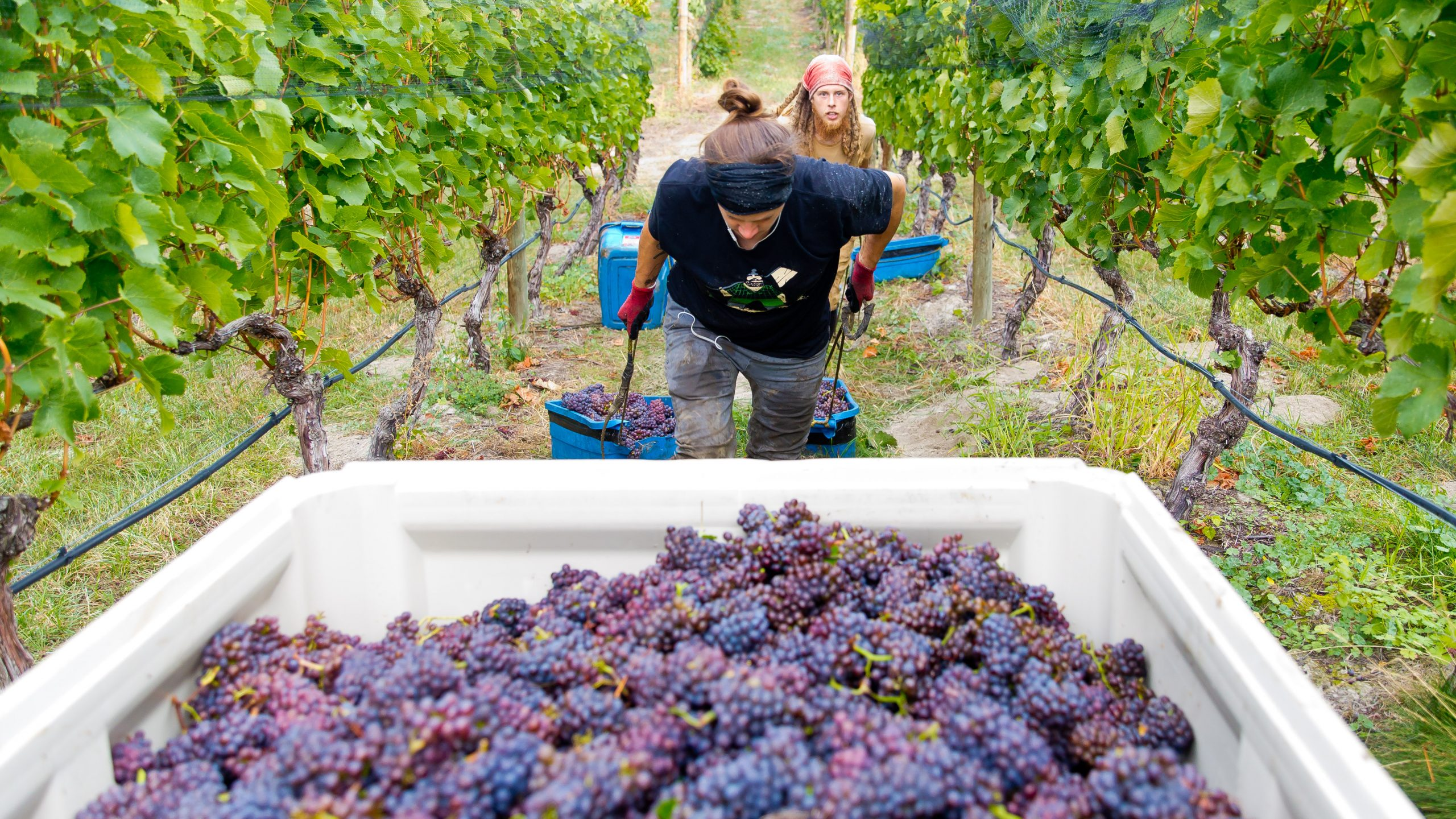 Surprisingly Solid 2020 For Naramata Bench Wineries photo
