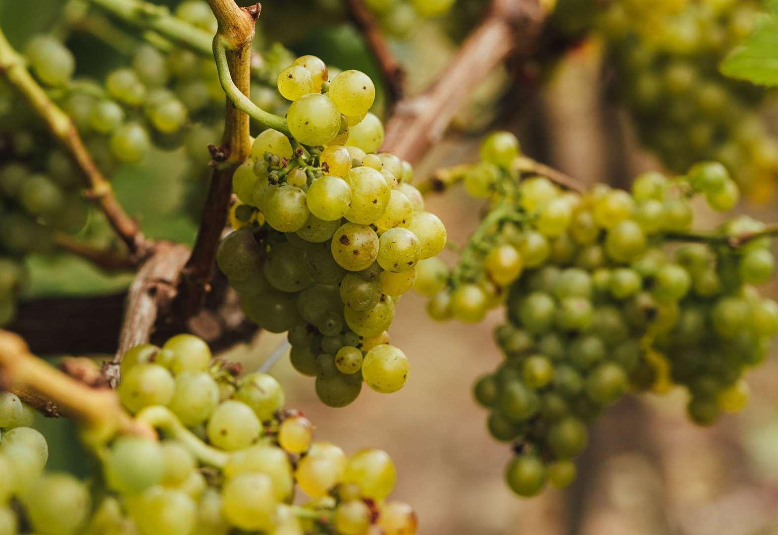 Vineyard Celebrates Another Bumper Harvest photo