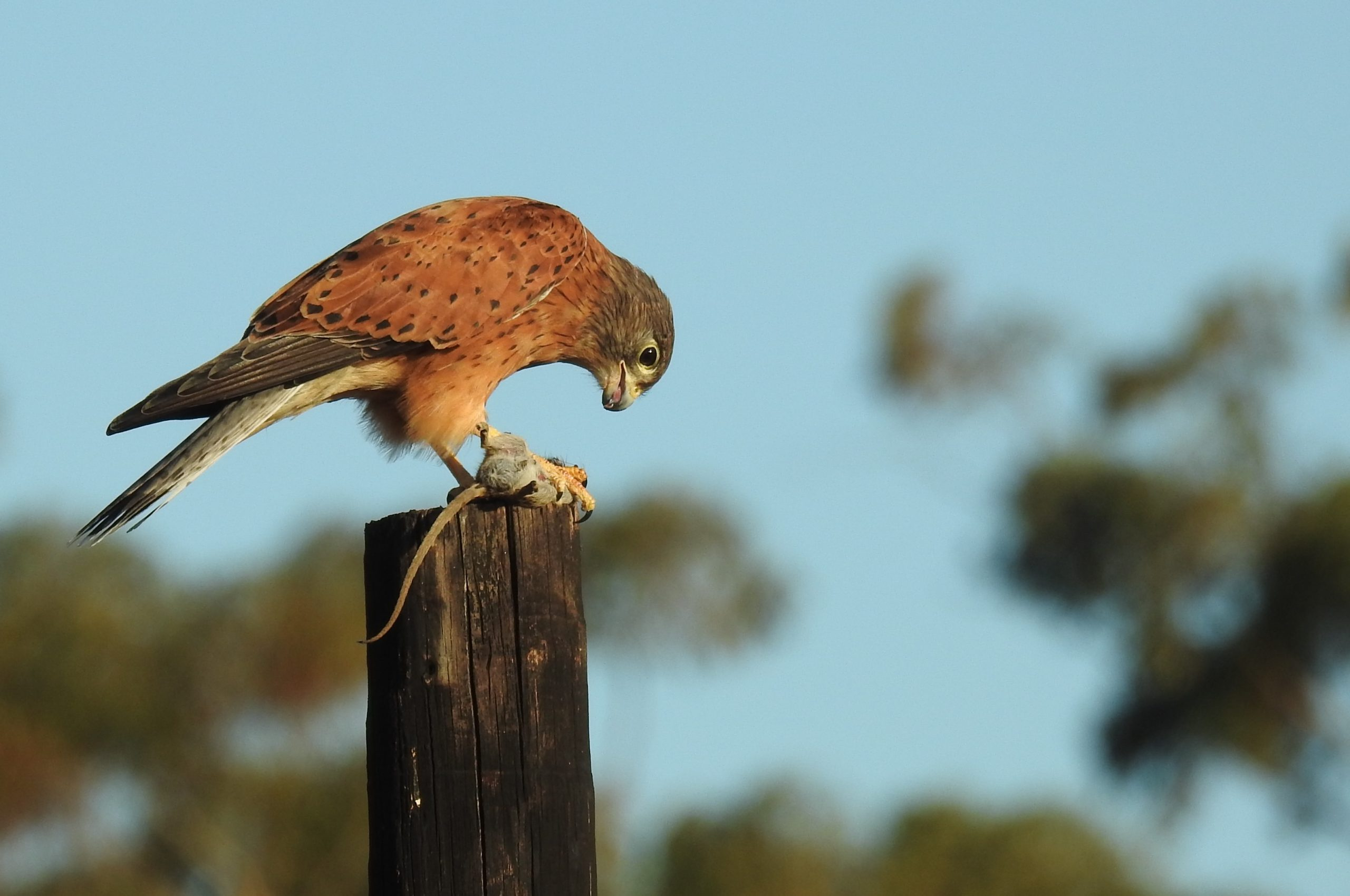 One of 113 bird species spotted at Mooiplaas Rock Kestrel photograhed in Pinot Noir vineyards. scaled WFF Conservation Champion Status For Mooiplaas Wine Estate
