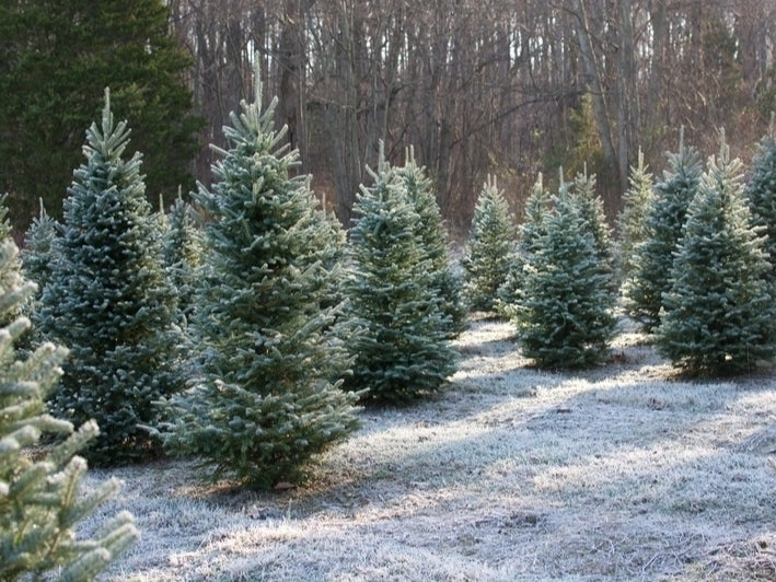 Where To Cut Your Own Christmas Tree In Eastern Pennsylvania photo
