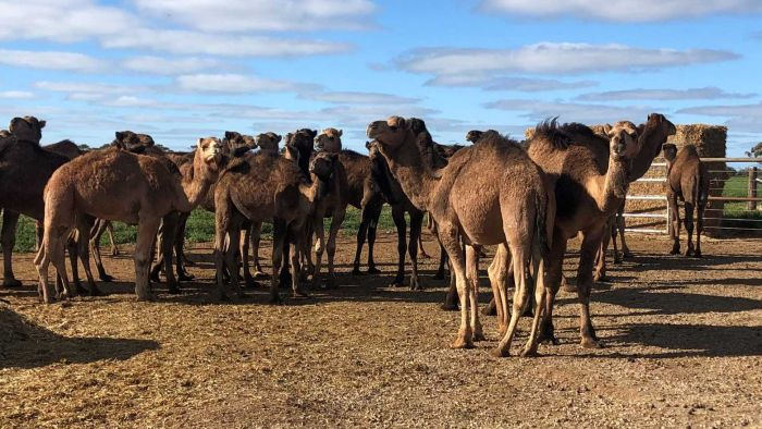 South Australian Feedlot Fattens Feral Camels As Consumer Appetite For Gourmet Meat Grows photo