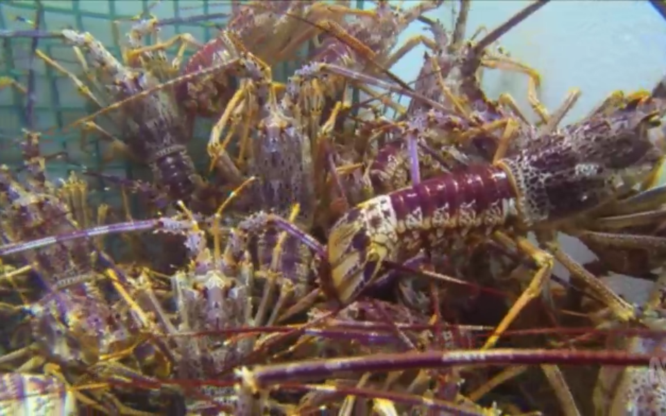 China's Lobster Ban Means Cheaper Christmas Treats photo