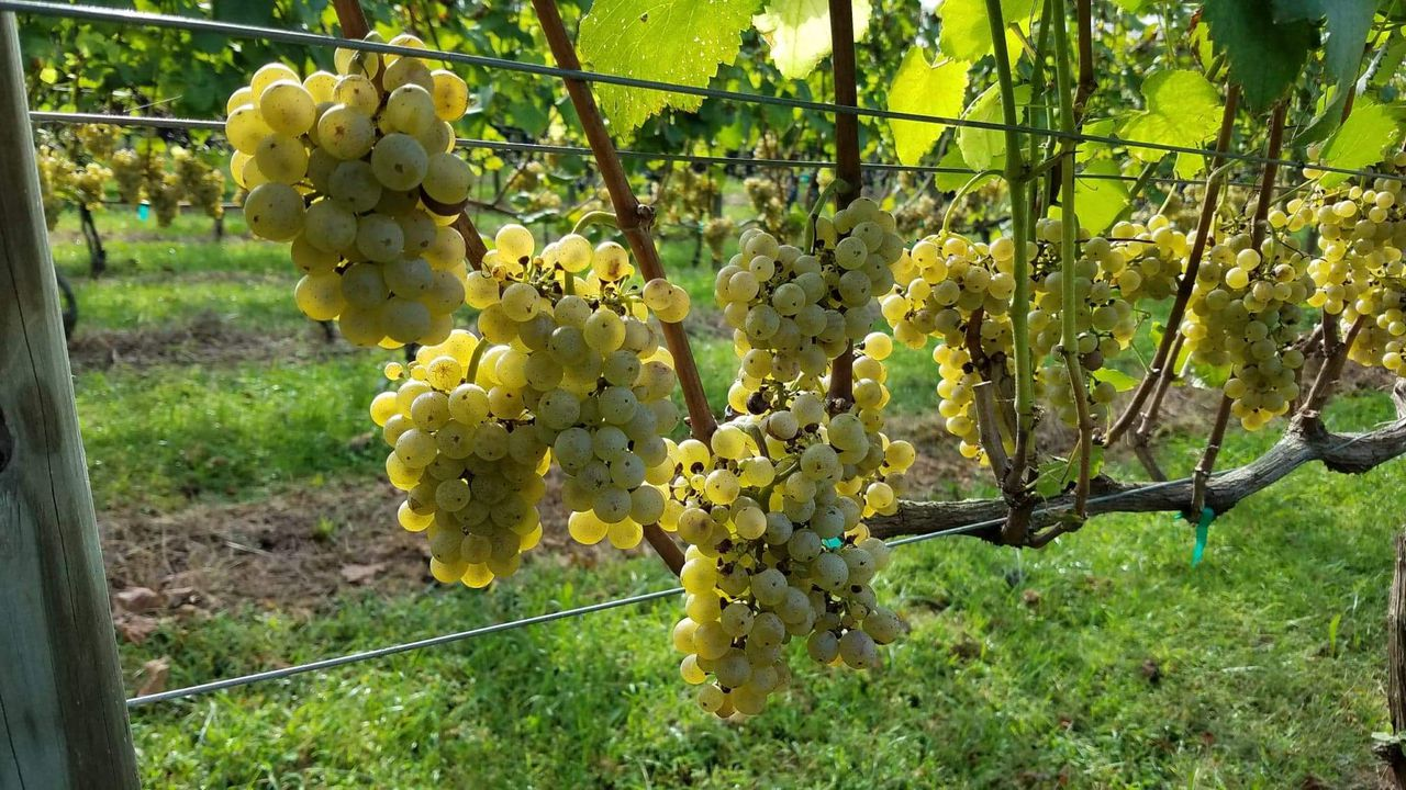 Albariño Grape Finds A Sweet Spot As Popular Dry White That's Grown, Made In The Mid-atlantic photo