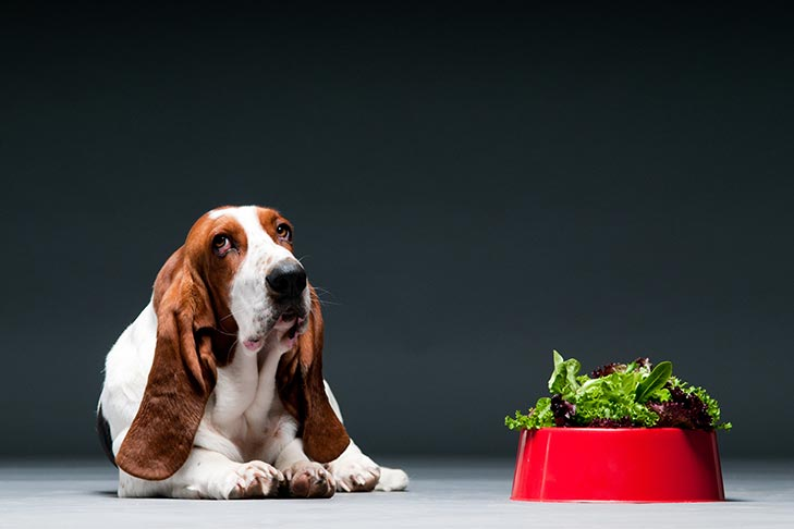 What To Feed Your Basset Hound Dog Breed photo