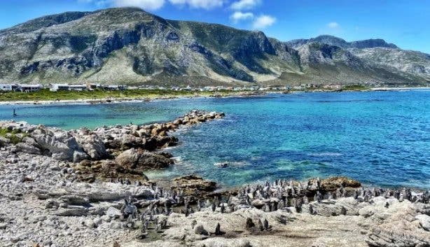 See Endangered African Penguins At Boulders And Stony Point Nature Reserve photo