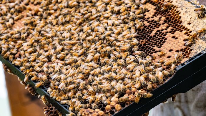 Queen Bee Shortage Leaves Beekeepers In Australia Struggling To Rebuild Hives photo
