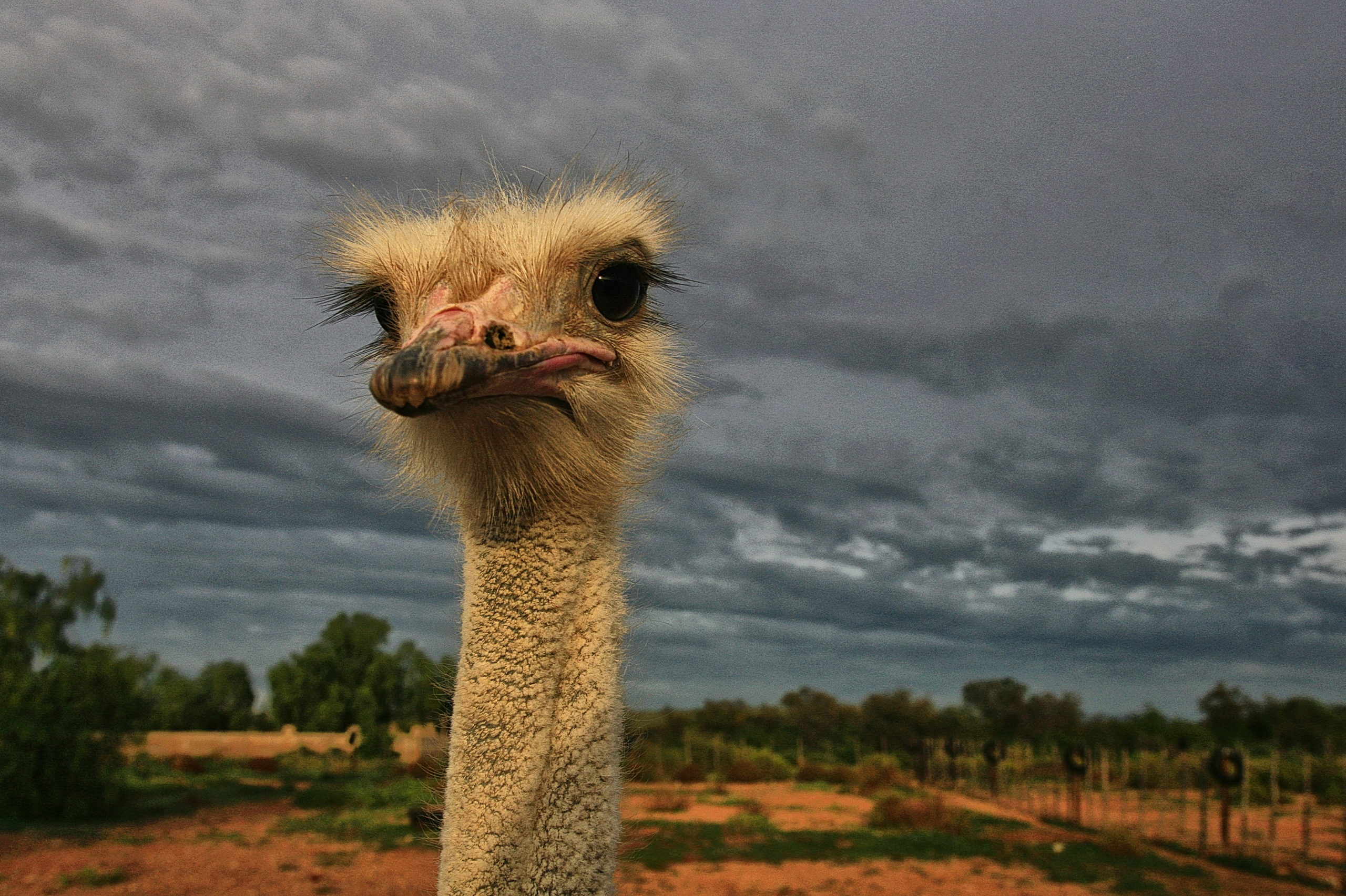 Matters Of Obsession: The Magic Bird, A Noble Ostrich Of The Karoo photo