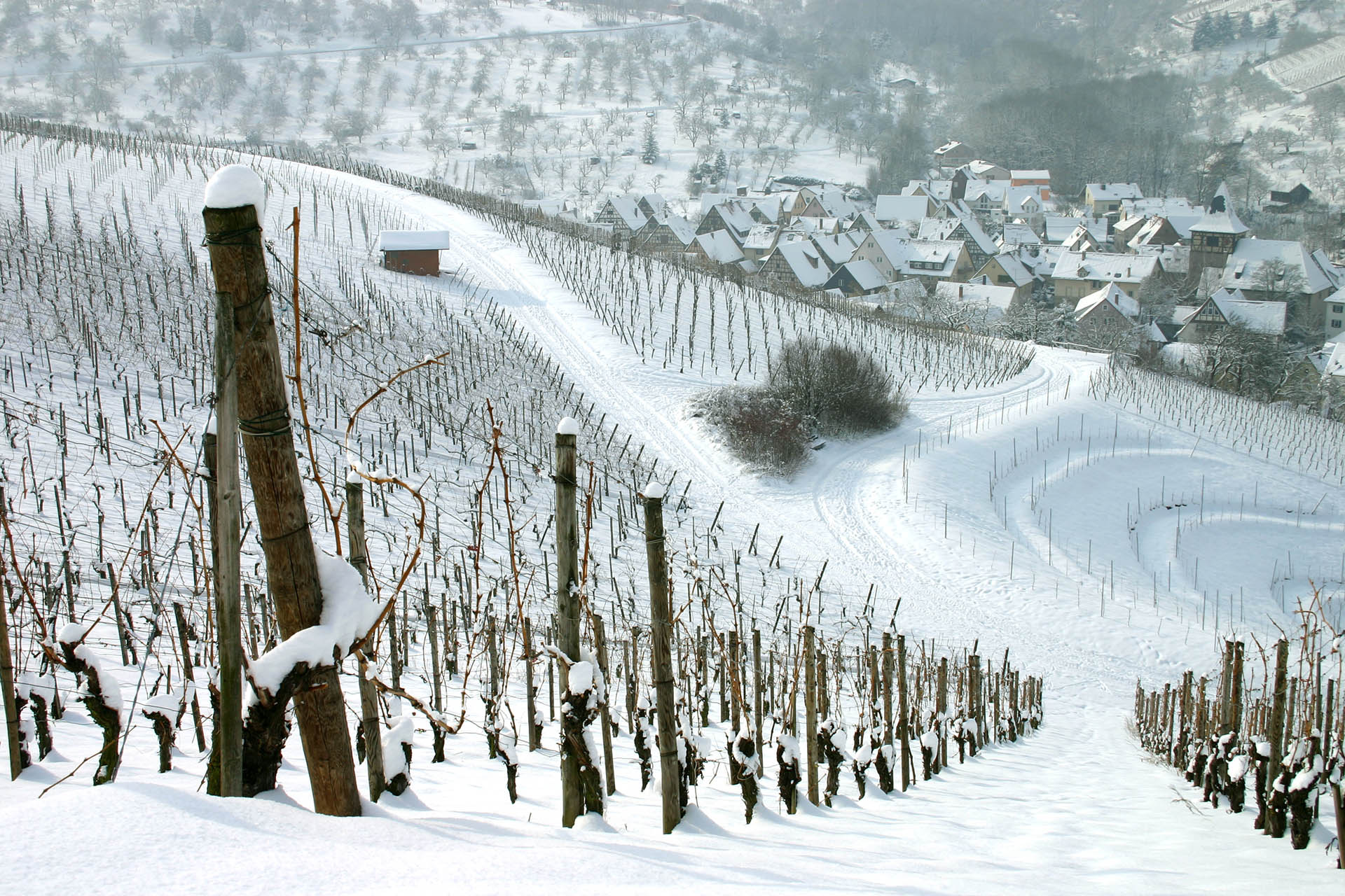 The Unexpected Vitality Of Winter In The Vineyard photo