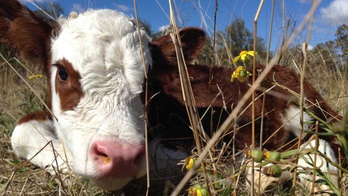 How High Can Australian Cattle Prices Go In The Year Of The Ox? photo