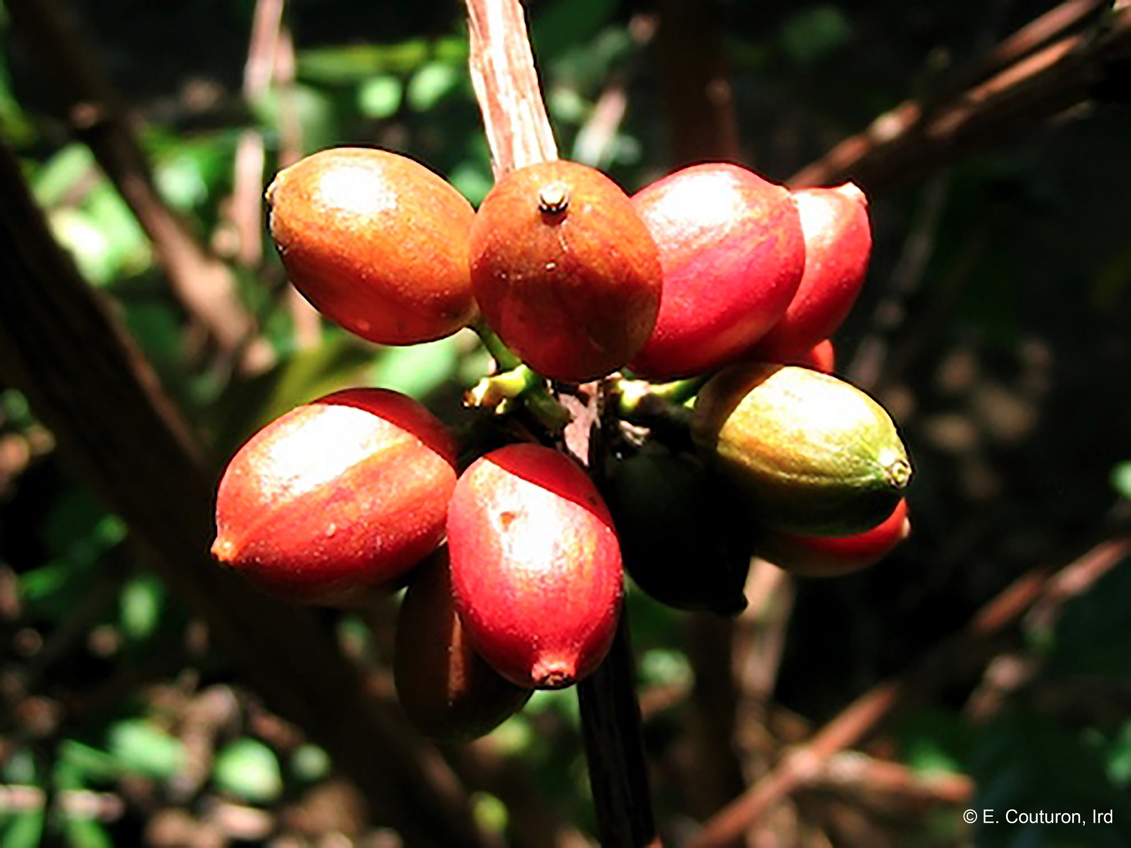 Rediscovering 'forgotten' Wild Coffee Species photo
