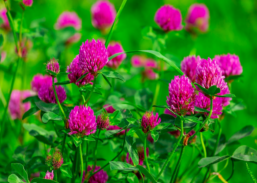 Clover: The Forgotten Forager photo