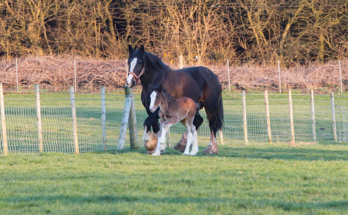Robinsons Brewery Announce Birth Of Third Foal From Shire Breeding Programme photo
