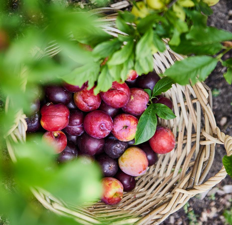 It's A Plum Of A Month At Boschendal photo