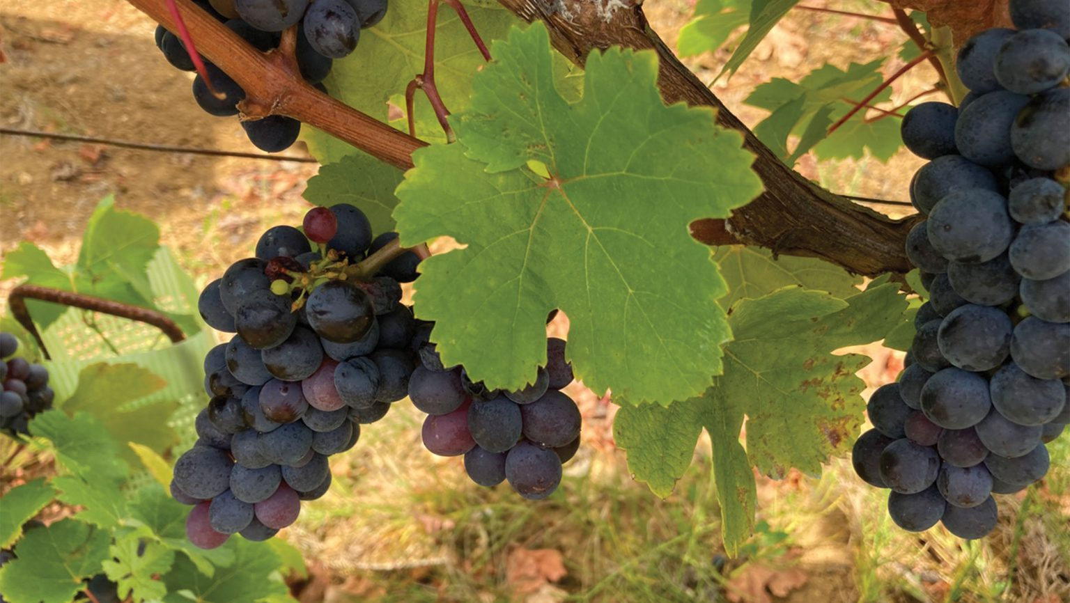 Is Trousseau's Future In American Vineyards? photo