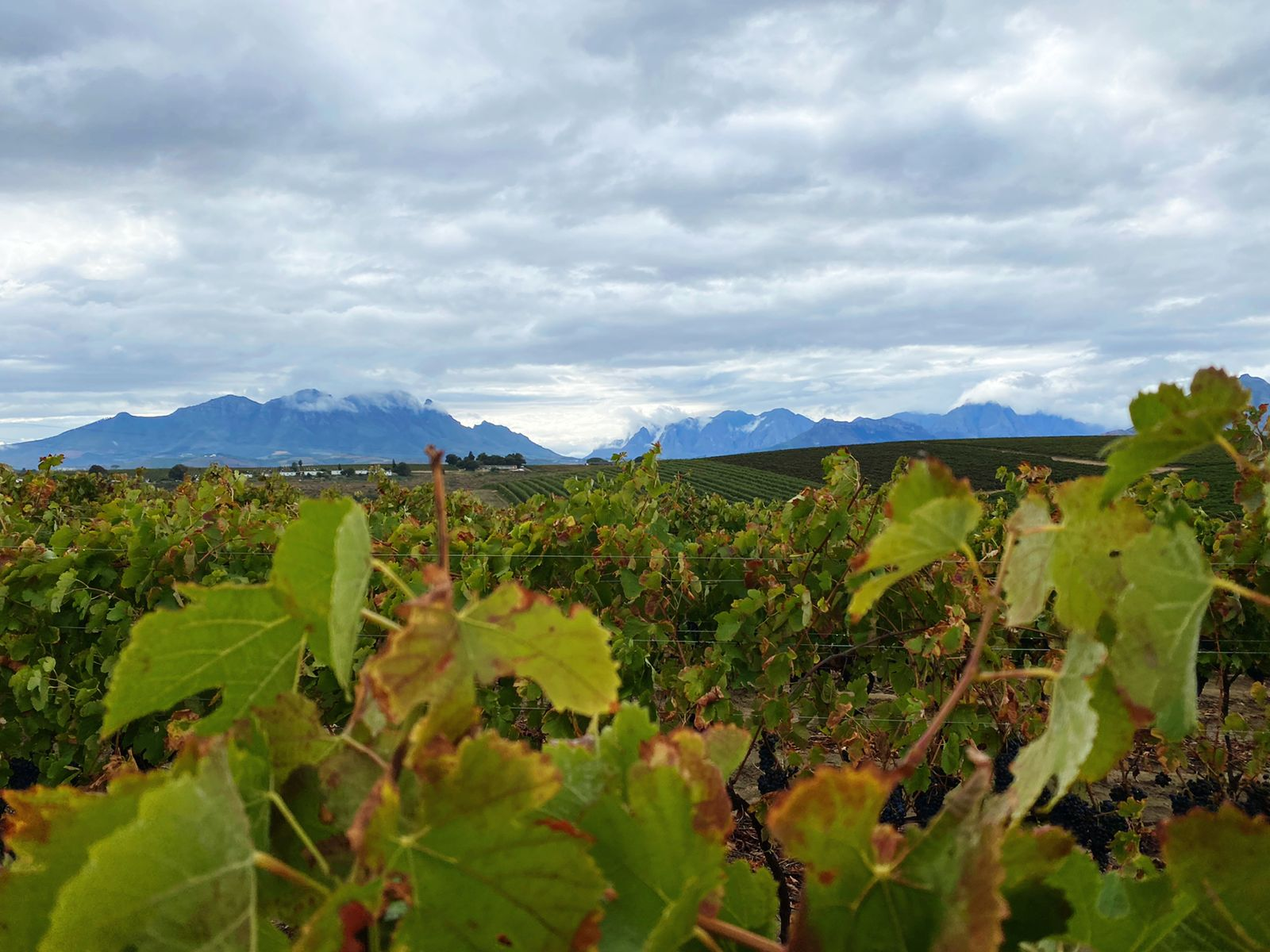 The Late, Long Harvest At Nederburg Is Great For Flavour Development photo
